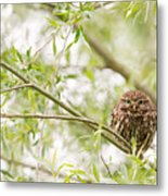 Puffed Up Little Owl In A Willow Tree Metal Print