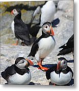 Puffins At Rest Metal Print