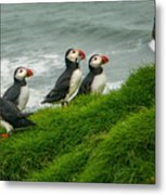 Puffins Returning From Fishing Metal Print