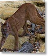 Puma Stalking Metal Print