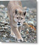 Puma Walk Metal Print