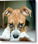 Puppie Dog Eyes Metal Print by Maureen Norcross