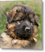 Puppy Portrait II Metal Print