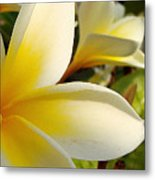 Pure Beauty Plumeria Flowers Metal Print