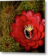 Pure Red  Metal Print