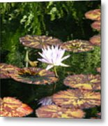 Pure Water Lily Metal Print