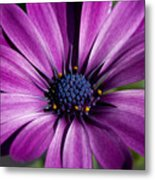 Purple African Daisy Metal Print by Robert  Torkomian