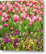 Purple And Pink Tulips In Canberra In Spring Metal Print