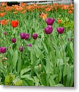 Purple And Red Tullips Metal Print