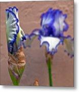 Purple And White Bearded Iris Bud Metal Print