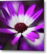 Purple And White Daisy  Metal Print