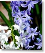 Purple And White Hyacinth Metal Print