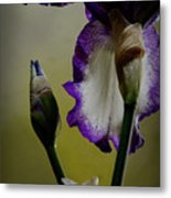 Purple And White Iris Flower Metal Print