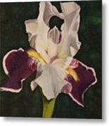 Purple And White Iris Metal Print