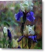Purple And White Irises 6647 Dp_2 Metal Print