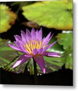 Purple And Yellow Water Lily Metal Print