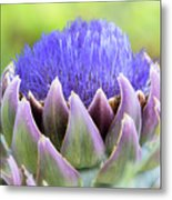 Purple Artichoke Flower  Metal Print