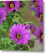 Purple Aster Flowers Metal Print