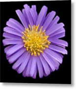Purple Aster Metal Print