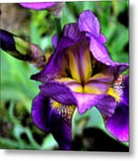Purple Bearded Iris Ft3025 Metal Print