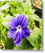 Purple Browallia Flower Metal Print