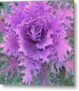 Purple Cabbage Plant Metal Print