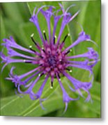 Purple Centaurea Montana Flower Metal Print