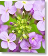 Purple Circle Of Dames Rocket Phlox In Spring Garden Metal Print