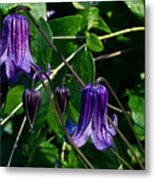 Purple Clamatis Bells Metal Print