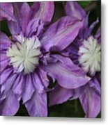 Purple Clematis 2 Metal Print
