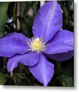 Purple Clematis Metal Print