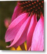Purple Coneflower Close-up Metal Print