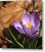 Purple Crocus In Dried Leaves Metal Print
