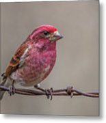Purple Finch On Barbwire Metal Print