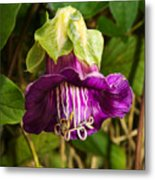 Purple Flower Of The Vine Known As Cathedral Bells Metal Print