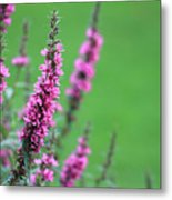 Purple Flowers In A Field Metal Print