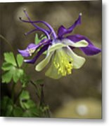 Purple Harlequin Columbine Metal Print