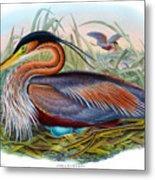 Purple Heron Antique Bird Print John Gould The Birds Of Great Britain Metal Print