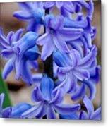 Purple Hyacinth Metal Print