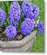 Purple Hyacinth Flowers Planter Metal Print
