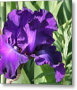 Purple Iris Metal Print