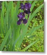 Purple Iris With Green Leaves Metal Print by Sharon McKeegan