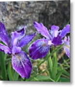 Purple Irises With Gray Rock Metal Print