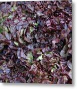 Purple Lettuce   Corsica Metal Print