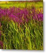 Purple Loosetrife And Cat-tails Metal Print
