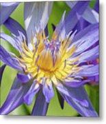 Purple Water Lily Flowers Blooming In Pond Metal Print