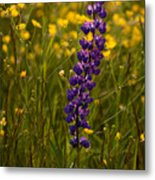 Purple Lupin And Buttercups Metal Print