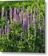 Purple Lupines In Summer Metal Print