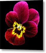 Purple Pansy On Black Metal Print