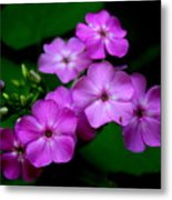 Purple Phlox By Earl's Photography Metal Print